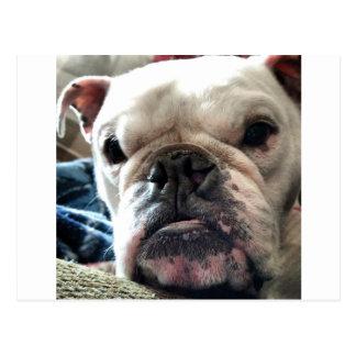 English Bulldog Postcard
