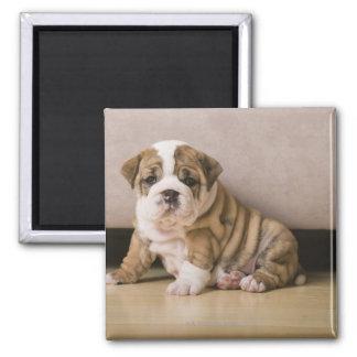 English bulldog puppies 2 inch square magnet