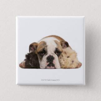 English bulldog puppy (4 months old) and two button
