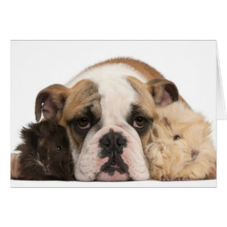 english bulldog puppy (4 months old) and two card
