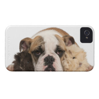 English bulldog puppy (4 months old) and two iPhone 4 cover