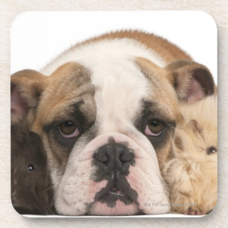 english bulldog puppy (4 months old) and two drink coasters
