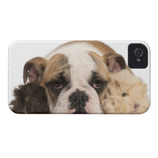 English bulldog puppy (4 months old) and two guine iPhone 4 cases