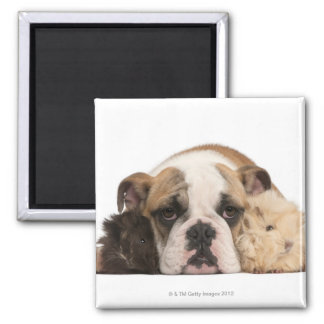 English bulldog puppy (4 months old) and two guine magnet