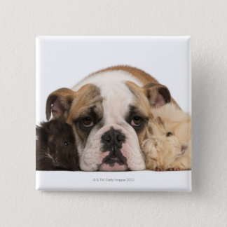 English bulldog puppy (4 months old) and two guine pinback button