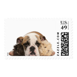 English bulldog puppy (4 months old) and two guine postage stamp