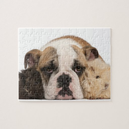 English bulldog puppy (4 months old) and two guine puzzles