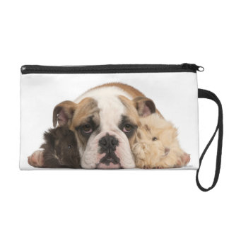 English bulldog puppy (4 months old) and two guine wristlet