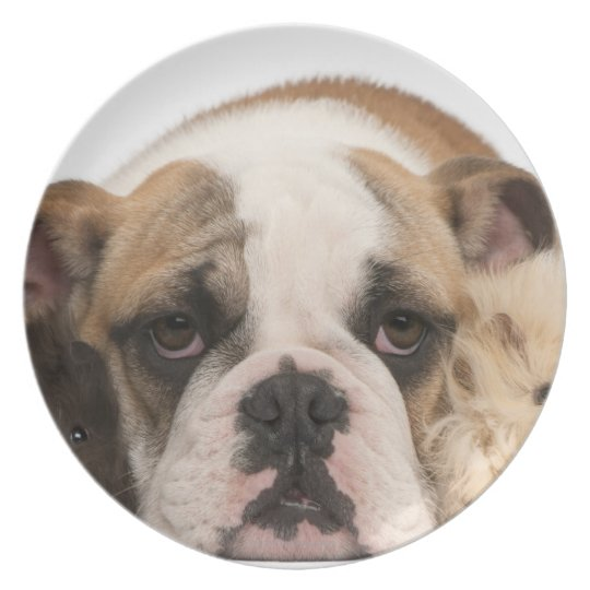 english bulldog puppy (4 months old) and two melamine plate