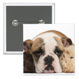 english bulldog puppy (4 months old) and two pinback button