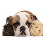 english bulldog puppy (4 months old) and two postcard