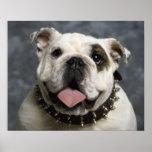 English Bulldog Puppy Dog  Portrait Poster