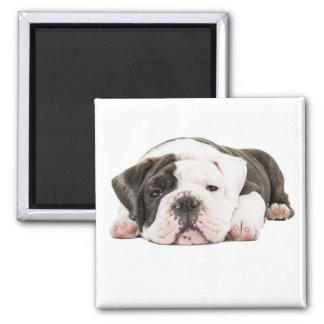English bulldog puppy magnet
