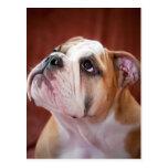 English Bulldog Puppy Postcard