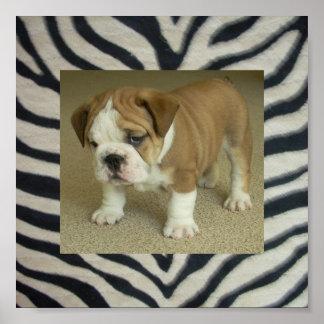 English Bulldog Puppy Poster Zebra Print backgroun
