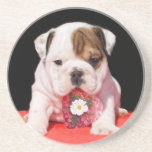 English bulldog puppy sandstone coaster