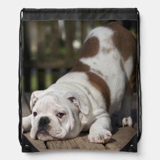 English bulldog puppy stretching down. backpack