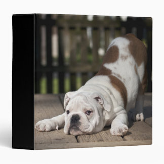 English bulldog puppy stretching down. binder