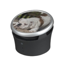 English bulldog puppy stretching down. bluetooth speaker