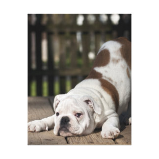 English bulldog puppy stretching down. canvas print