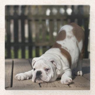 English bulldog puppy stretching down. glass coaster