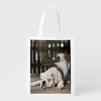 English bulldog puppy stretching down. grocery bag