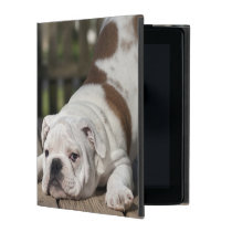 English bulldog puppy stretching down. iPad cover