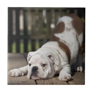 English bulldog puppy stretching down. tile