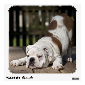 English bulldog puppy stretching down. wall sticker