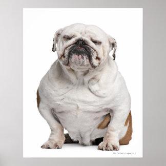 English Bulldog, sitting Poster