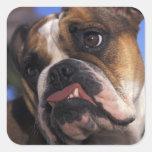 English Bulldog Square Sticker