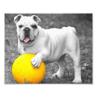 English bulldog white and the yellow ball photo print