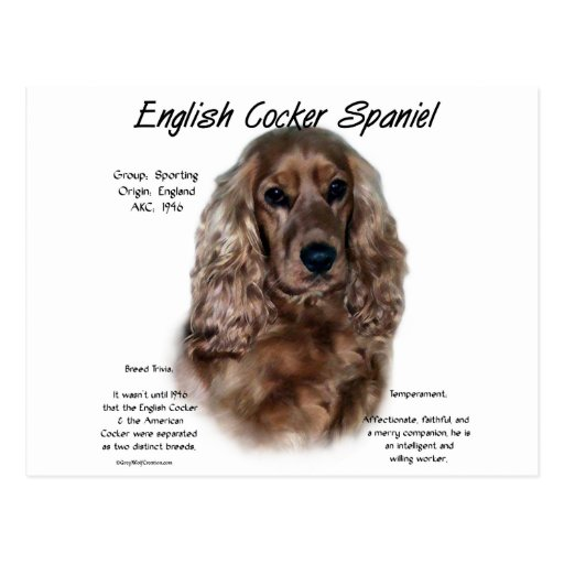 cocker spaniel origin english cocker spaniel liver history design postcard 5140