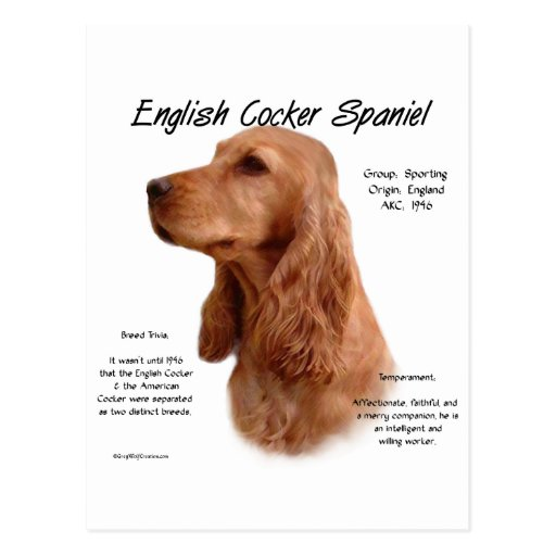 cocker spaniel origin english cocker spaniel red history design postcard zazzle 4635