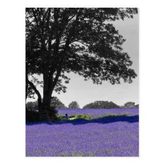 English Lavender field Postcard