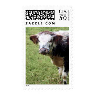 English Longhorn Calf | Cow Postage