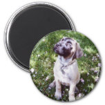 English Mastiff Magnets