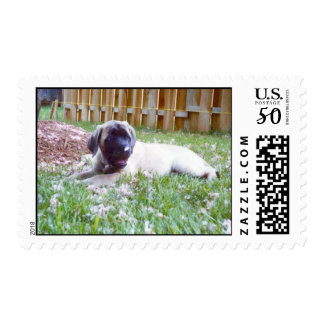 English Mastiff Postage Stamps