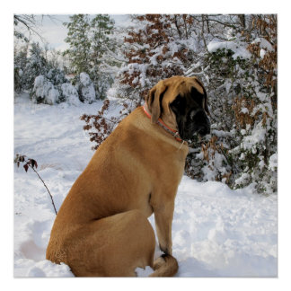 English Mastiff snow pose poster