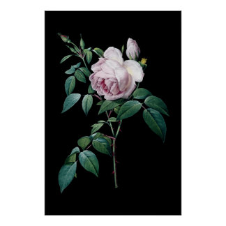 English pink rose of Redoute black background post Poster
