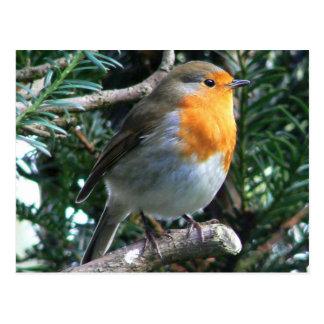 English Robin In A Pine Tree Postcard