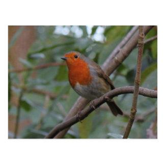 English Robin Postcard