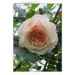 English Rose after the Rain Card