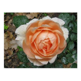 English Rose in the Rain Postcard