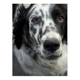English Setter Dog Postcard