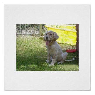 english setter orange_belton_puppy poster