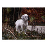 English setter pup poster