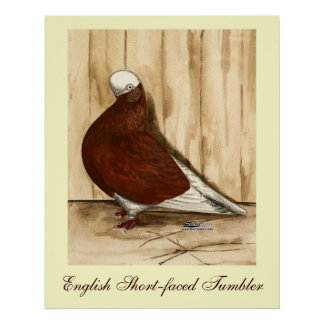 English Shortfaced Bald Pigeon Poster