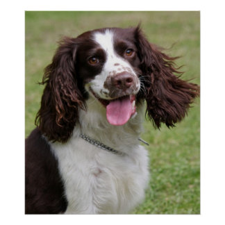 English Springer Spaniel dog beautiful photo print
