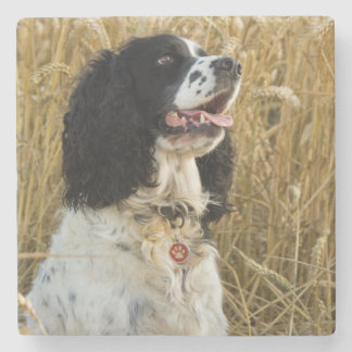 english springer spaniel in wheat.png stone coaster